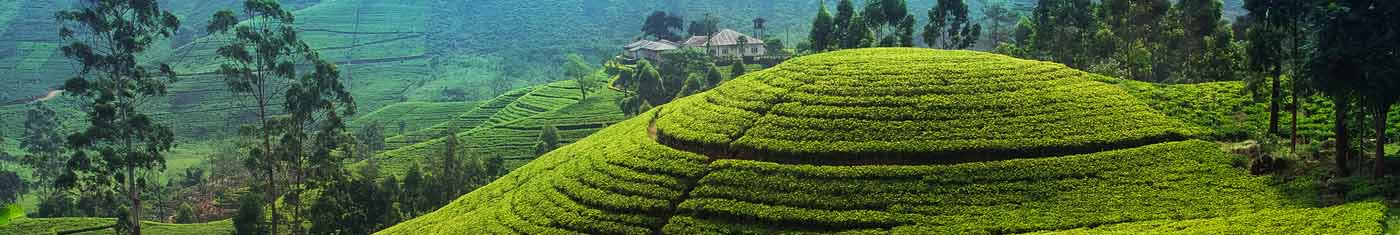 Arial view of the tea estates in Sri lanka with greenish sights